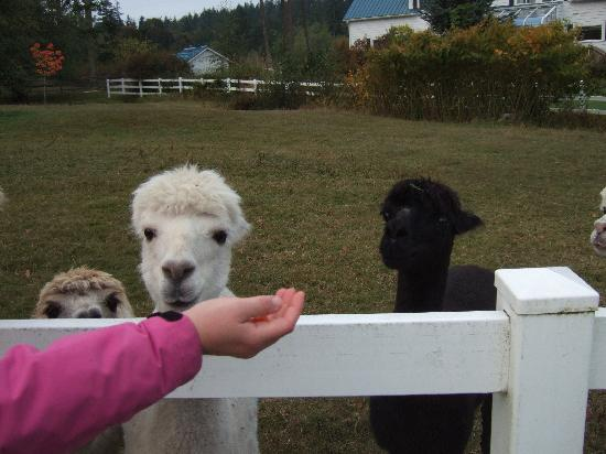 States Inn & Ranch: Guests may feed the alpacas here.