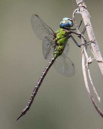Boyd Hill Nature Preserve : Dragonflies everywhere