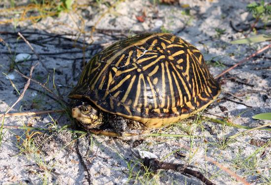 Honeymoon Island State Park: Box turtle