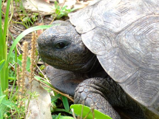 Sawgrass Lake Park: Gopher Tortoise
