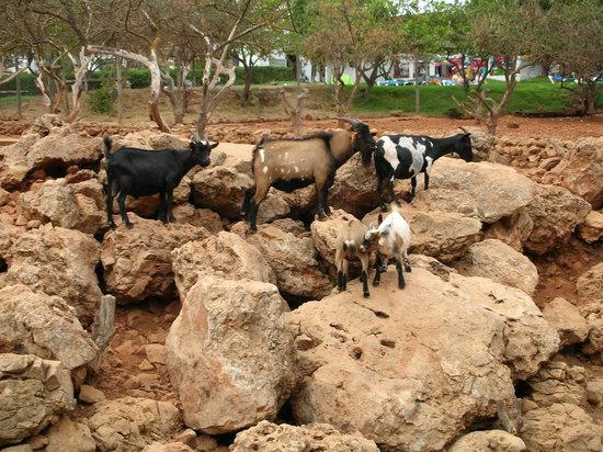 Goats at Krazy World