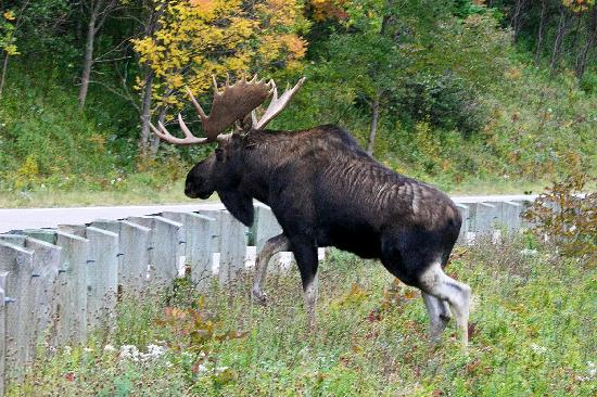 Cabot Trail : Mr Moose along the way