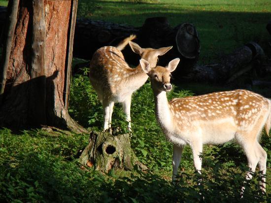Hotel Jagdschloss Niederwald: Deer at the hotel