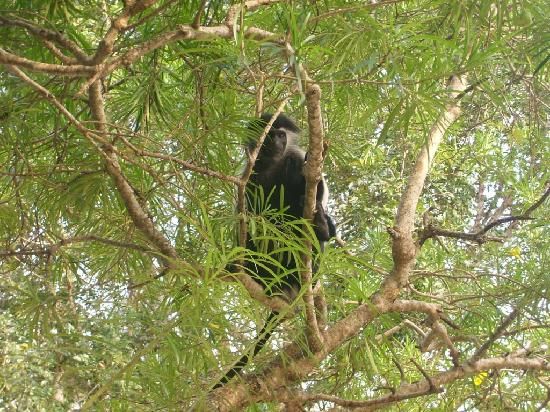 Diani Marine Divers Village: Colobus Monkey, endemic to the area.