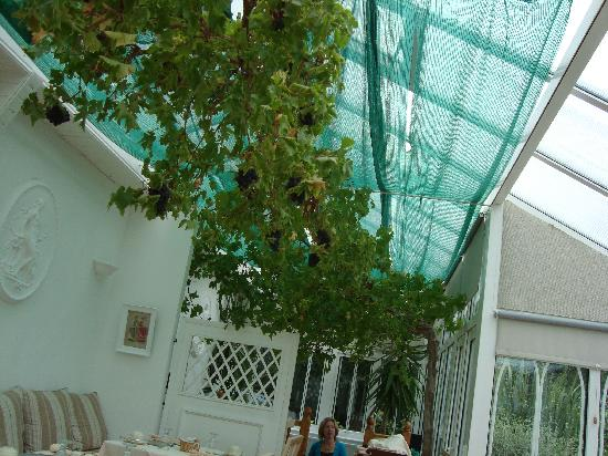 Barrowville Town House: a live grapevine adorning the ceiling in the breakfast room