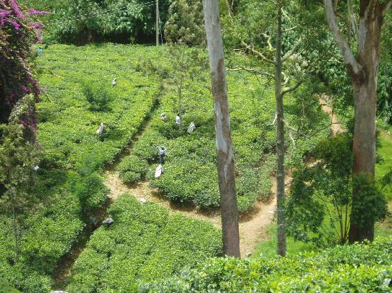 Ceylon Tea Trails: Tea pickers