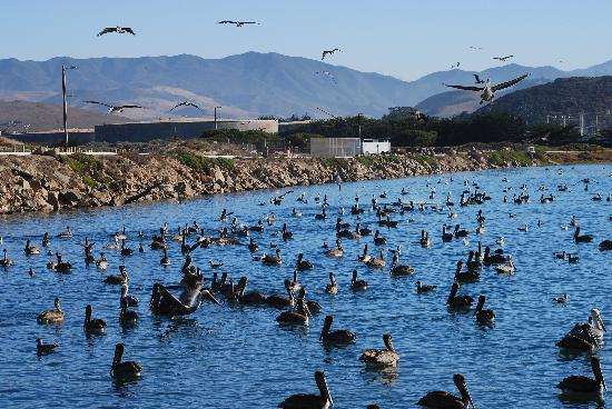 456 Embarcadero Inn & Suites: A few more local Pelicans and friends