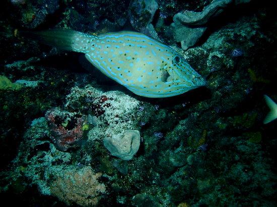 Yucab Reef : scrawled filefish
