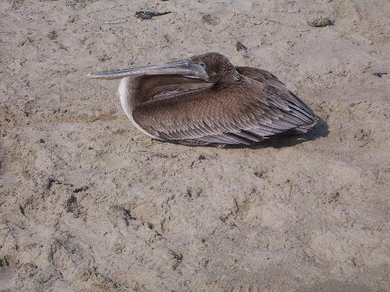 A PELICAN RELAXING AT ZUMA BEACH