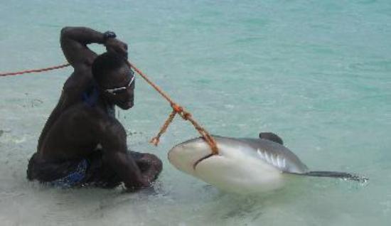 Shark wrestling!