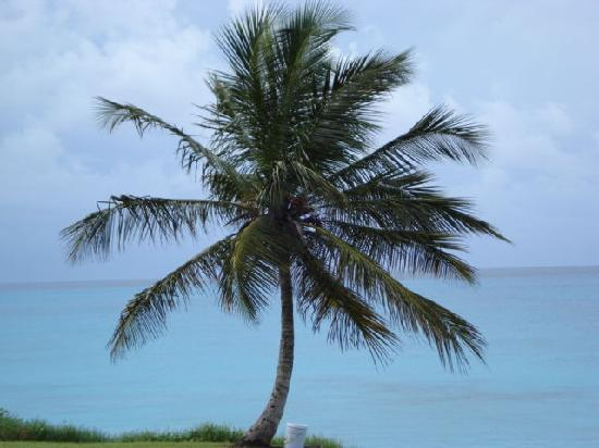 Saint James Parish, باربادوس: Tree at one of the beaches we stopped at