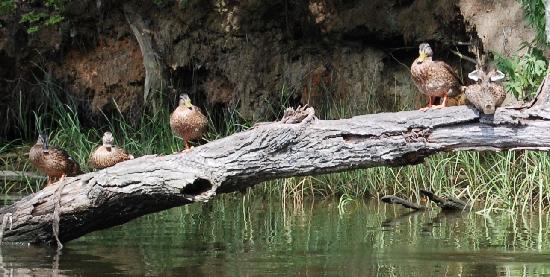Quiet Waters Park: Mallards- Quiet Waters