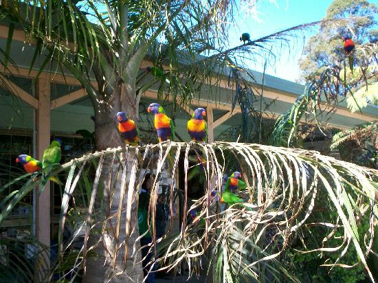 Springbrook, Australia: More of the colourful birds