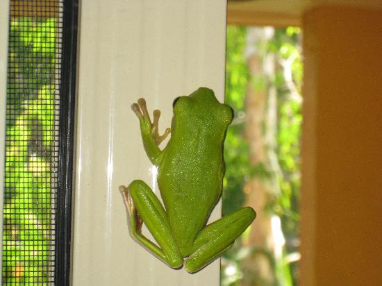 Central Plaza Port Douglas: Green Tree Frog on Outdoor Patio