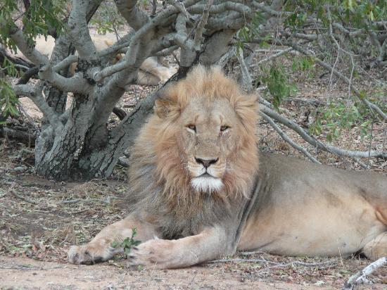 Le Roi Lion Picture Of Chapungu Tented Bush Camp