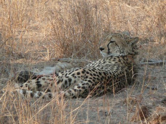 Thornybush Private Game Reserve, Sudáfrica: Femelle guépard avec ses 3 petits