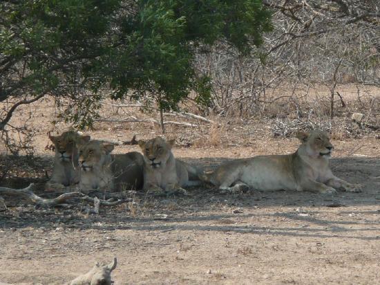 Thornybush Private Game Reserve, Sudáfrica: A l'affût des gnous