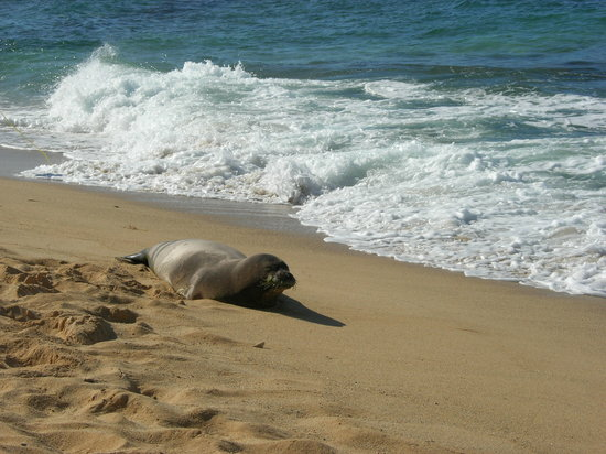 ปัวปู, ฮาวาย: The rare Monk Seal appears on Poipu State Beach