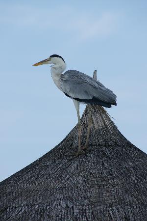 COMO Cocoa Island: resident heron