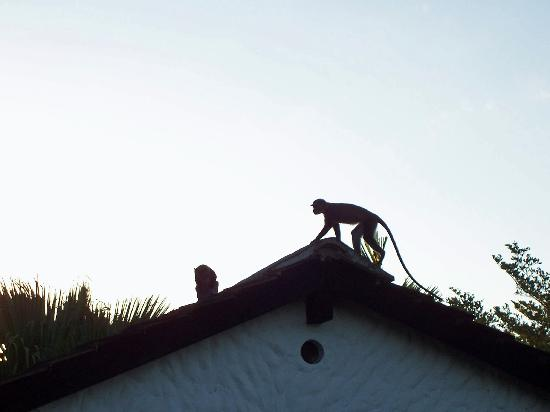 Pinewood Beach Resort & Spa: Monkey on roof
