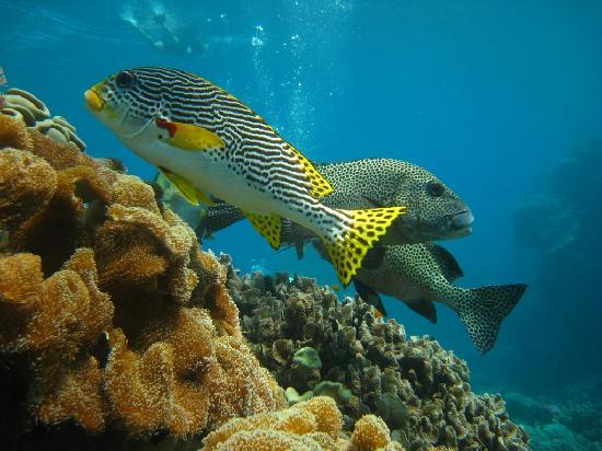 Reef Experience: Sweet Lips at Hastings Reef