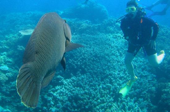 Reef Experience : The Maori Wrasse saying Hi