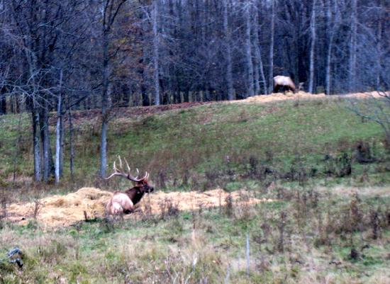 Thunder Bay Resort: Boss Elk watching the Sparring match