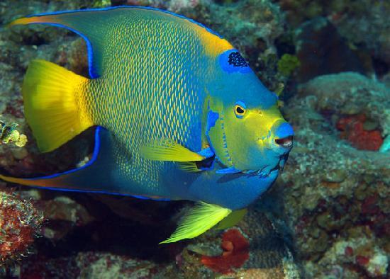 Wyndham Reef Resort: Queen Angelfish