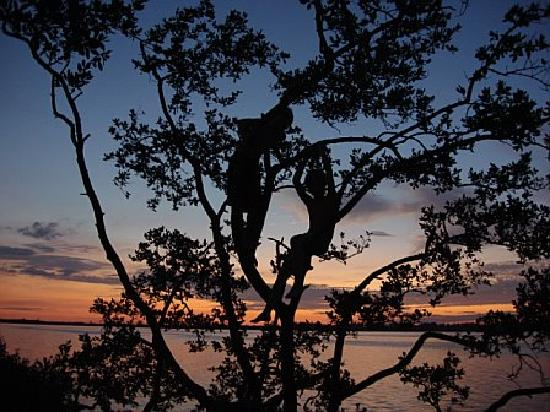 Fort De Soto Park: Kids silhouetted climbong tree at sunset