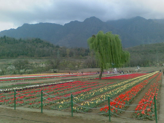 Шринагар, Индия: the tulip garden(srinagar)