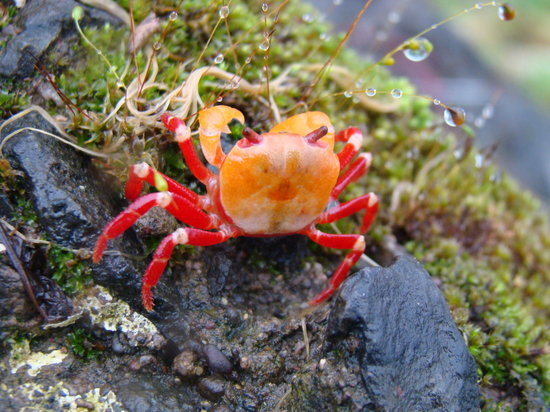 Mahabaleshwar, India: BABY CRAB