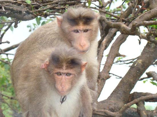 Mahabaleshwar, Индия: APES