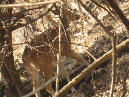 Daman and Diu, Indien: and this is of GIR forest.. SAFARI