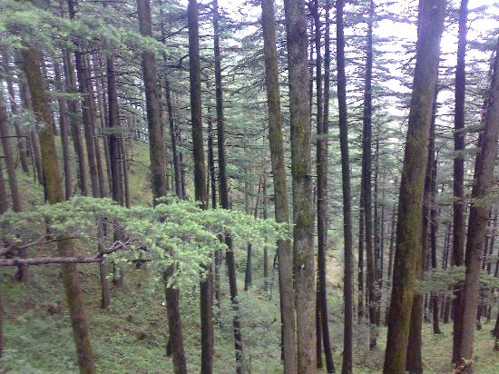 Shimla, India: Woods on the way
