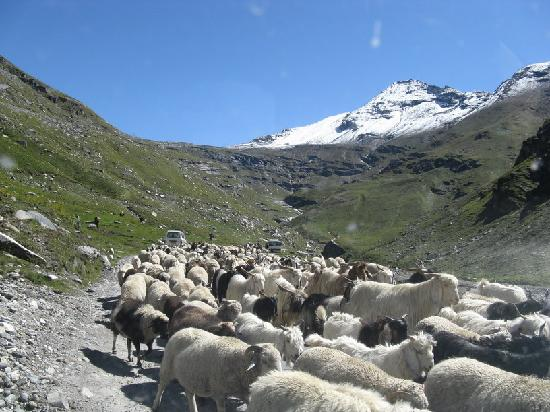 Kullu, India: Sheep on the way to Rhotang Pass