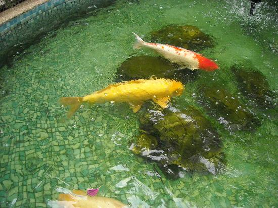 PJ Watergate Hotel: Huge Koi Fish oin PJ's Fish Pond, outside the Entrance