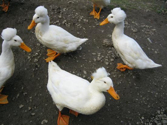 """Fly Creek Cider Mill & Orchard: """"Bad Hair Day"""" ducks"""