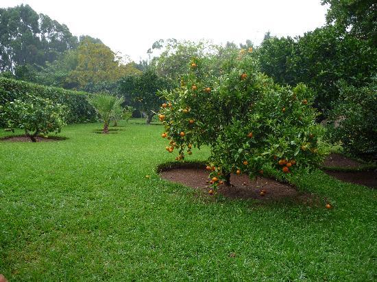 Villa Mandarine : Orange Tree in Garden