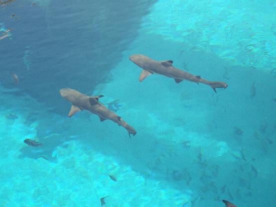 Atlantis, The Palm: The shark tank!