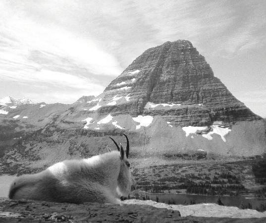 Wyoming: Goat at Hidden Lake Overlook, Glacier National Park
