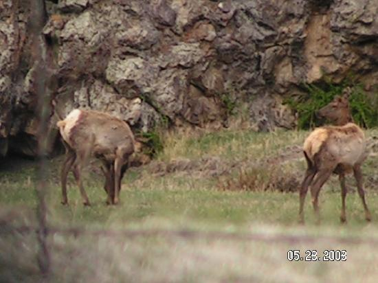 Ute Trail River Ranch: Highly Paid Tourist Elk