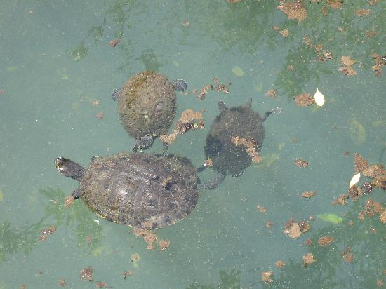 Sandos Caracol Eco Resort: Cute turtles by the main restaurant.