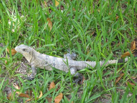Sandos Caracol Eco Resort: One of the many creatures on site.  Don't worry they're not dangerous