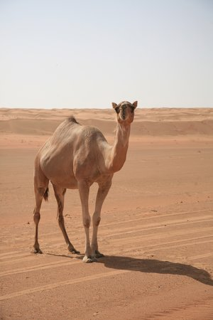 Salalah, Omán: Camel in the Desert