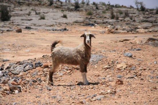 Salalah, Oman: Mountain Goat - Thats Lamb Chop