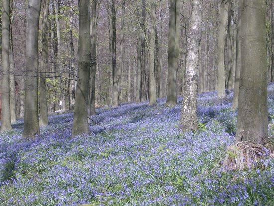 Kent, UK : Bluebells in King's Wood, Challock
