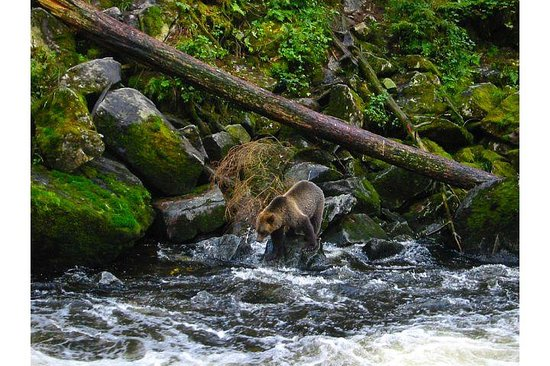 Anan Creek Bear Observatory: Grizzly on Anan Creek