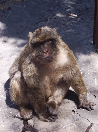 Gibraltar: scimmia