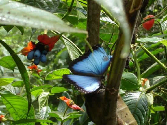 Gamboa Rainforest Resort: The blue butterfly