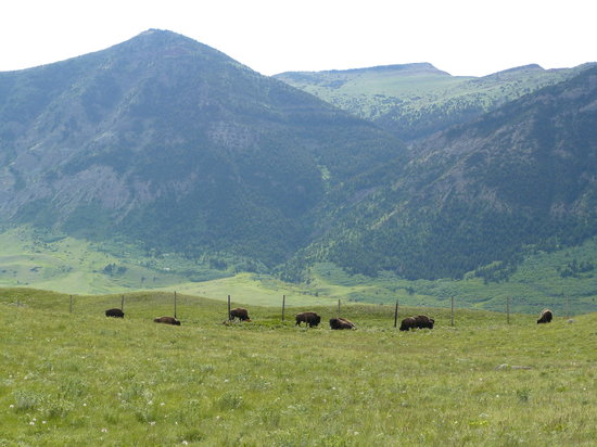 Waterton Lakes National Park, แคนาดา: Buffalo paddock